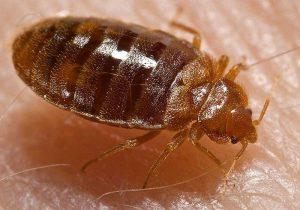 הדברת פשפש המיטה, Bed bugs pest control