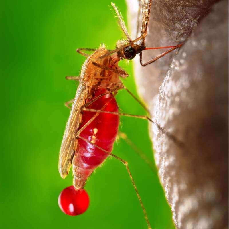 בתמונה, יתושה במהלך עקיצת יתר
