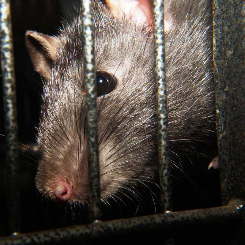 לכידת עכברים, לכידת חולדות.