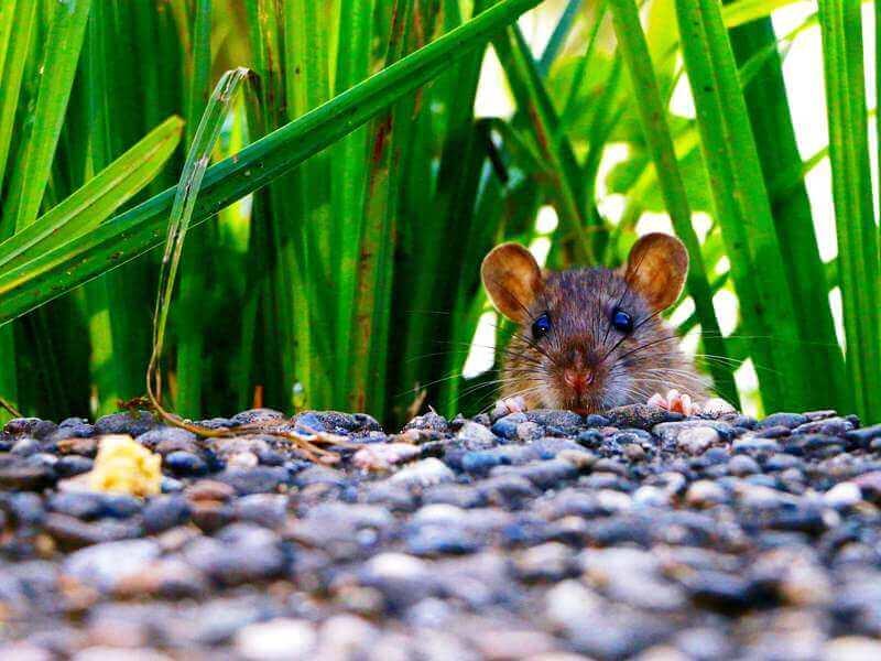 לכידת עכברים והדברת חולדות בצורה מקצועית