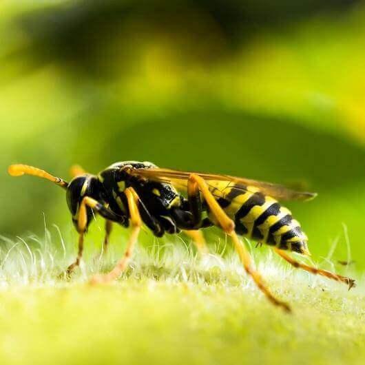 הדברת צרעות, Wasps pest control