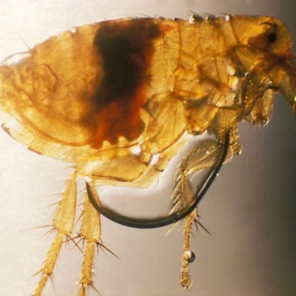 הדברת פרעושים – Flea pest control