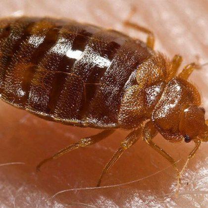 הדברת פשפש המיטה – Bed bugs pest control